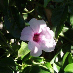 Pandorea jasminoides rosea at san marcos growers mightylinksfo
