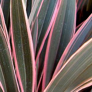 Phormium Pink Stripe At San Marcos Growers