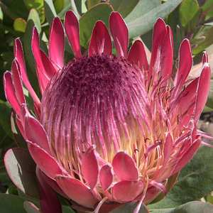 South african national flower king protea
