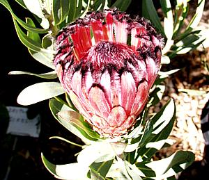 Protea laurifolia rose mink at san marcos growers mightylinksfo