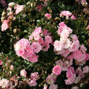 Rosa The Fairy Garden Design Ideas