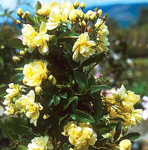 Rosa banksiae lutea at san marcos growers mightylinksfo Image collections