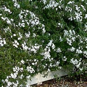 Solanum laxum at san marcos growers for Pianta solanum