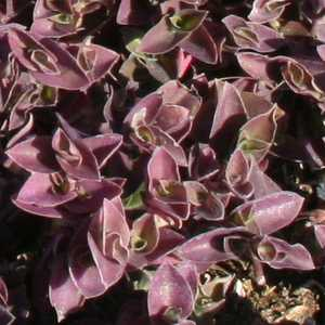 befcfb176f46 Tradescantia  Greenlee  at San Marcos Growers