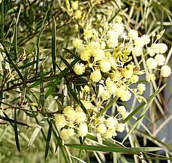 Acacia Iteaphylla At San Marcos Growers