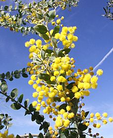 Acacia Podalyriifolia At San Marcos Growers