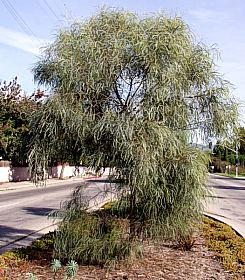 Acacia Stenophylla At San Marcos Growers