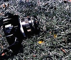 Silver Carpet Dymondia Margaretae