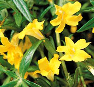 Mimulus Jelly Bean Yellow Pp11 973 At San Marcos Growers