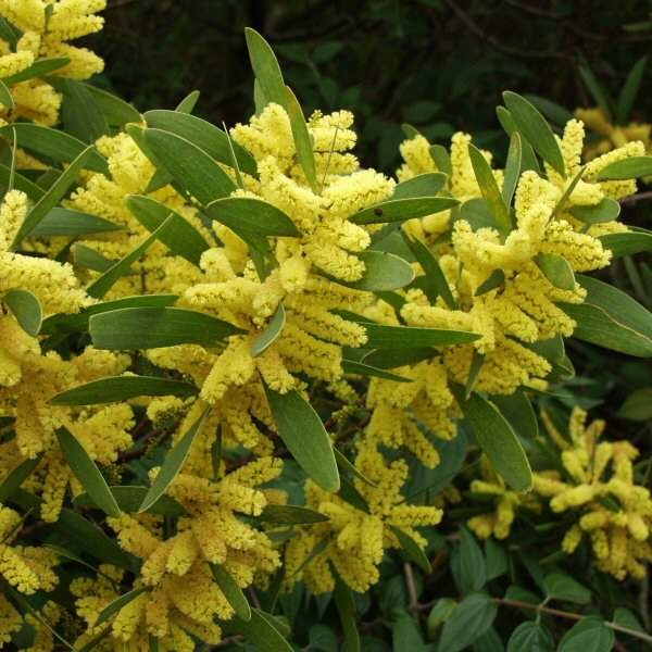 Acacia longifolia - Golden Wattle