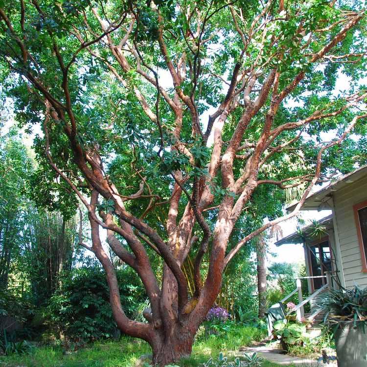 arbutus marina strawberry tree - photo #15