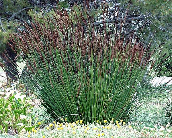 Cat Grass For Sale
